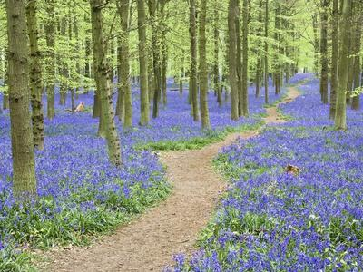 https://imgc.artprintimages.com/img/print/path-winding-through-beech-forest-and-bluebells_u-l-pzkzno0.jpg?p=0