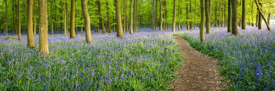 Path Winds Through a Carpet of Bluebells in a Wood in Hertfordshire, UK-Dan Tucker-Photographic Print