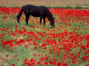 Black Horse in a Poppy Field, Chianti, Tuscany, Italy, Europe by Patrick Dieudonne