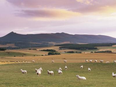 Fields and Sheep Near Oldmeldrum, Aberdeenshire, Scotland, United Kingdom, Europe by Patrick Dieudonne
