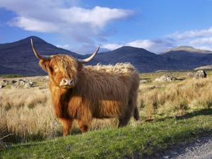 Highland Cattle, Isle of Mull, Inner Hebrides, Scotland, Uk by Patrick Dieudonne