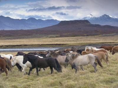 Icelandic Horses Near Snorrastadir, Eldborg Volcano by Patrick Dieudonne