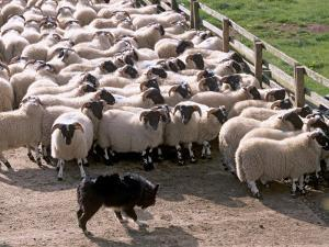 Sheepdog and Sheep, Pentland Hills Near Edinburgh, Lothian, Scotland, United Kingdom, Europe by Patrick Dieudonne