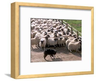 Sheepdog and Sheep, Pentland Hills Near Edinburgh, Lothian, Scotland, United Kingdom, Europe
