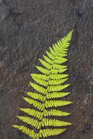 Canada, Nova Scotia, Cape Breton, fern by Patrick J^ Wall