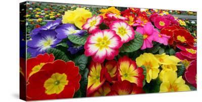 Blooming Primroses