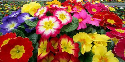 Blooming Primroses by Patrick Peul