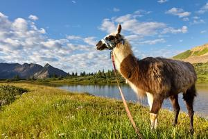 Llama in the Rocky Mountains by Patrick Poendl