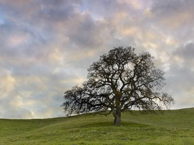 Lone Oak Tree, Lafayette, California, USA by Patrick Smith