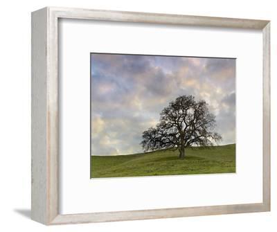 Lone Oak Tree, Lafayette, California, USA