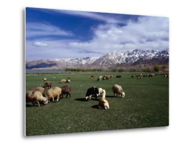 Sheep Graze on Fertile Green Pastures of Zagros Plains, Iran