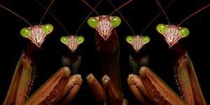 Praying Mantis: Family Portrait by Patrick Zephyr
