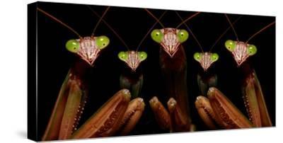 Praying Mantis: Family Portrait