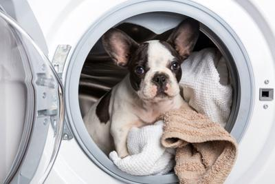 French Bulldog Puppy inside the Washing Machine by Patryk Kosmider
