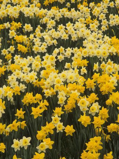 Pattern of Narcissus Flowers, Narcissus Pseudonarcissus, Louisville, Kentucky, USA-Adam Jones-Photographic Print