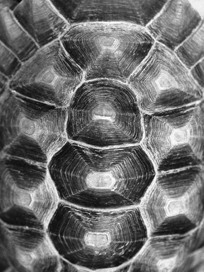 Pattern on Turtle's Shell Photographic Print by Henry Horenstein | Art com
