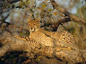 A Cheetah (Acinonyx Jubatus) in a Tree, Kruger Park, South Africa by Paul Allen