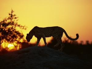 Cheetah, Okavango Delta, Botswana, Africa by Paul Allen