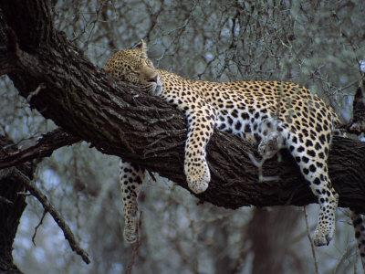 Close-Up of a Single Leopard, Asleep in a Tree, Kruger National Park, South Africa