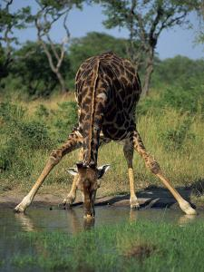 Close-Up of a Single Southern Giraffe Bending Down Drinking, Kruger National Park, South Africa by Paul Allen
