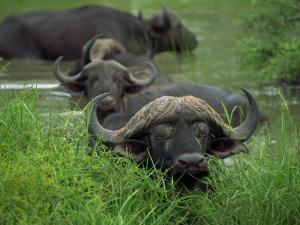 Close-Up of Head of Cape Buffalo, Kruger National Park, South Africa, Africa by Paul Allen