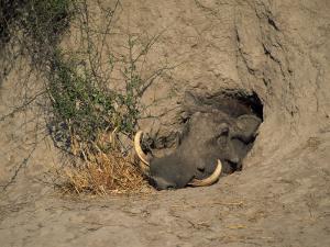 Close-Up of the Head of a Warthog, in a Burrow, Okavango Delta, Botswana by Paul Allen