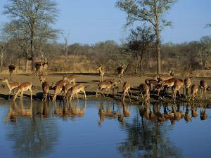 Group of Impala Drinking by a Water Hole, Kruger National Park, South Africa by Paul Allen