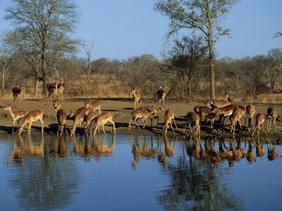 Group of Impala Drinking by a Water Hole, Kruger National Park, South Africa