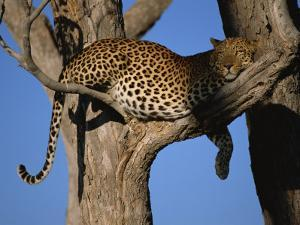 Leopard in Tree, Okavango Delta, Botswana, Africa by Paul Allen