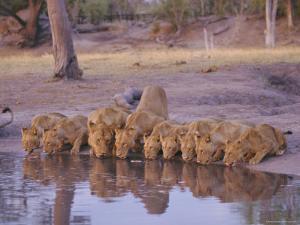 Lion (Panthera Leo) at Water Hole, Okavango Delta, Botswana, Africa by Paul Allen