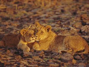 Lioness and Cub, Okavango Delta, Botswana, Africa by Paul Allen