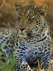 Portrait of a Leopard (Panthera Pardus), Okavango Delta, Botswana by Paul Allen