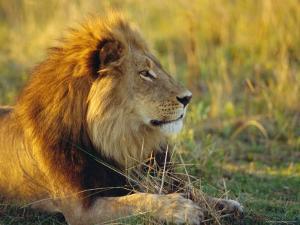 Portrait of a Lion (Panthera Leo), Okavango Delta, Botswana by Paul Allen