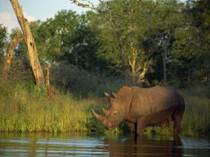 Single Square-Lipped or White Rhinoceros Standing in Water, Kruger National Park, South Africa by Paul Allen