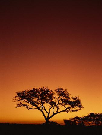 Single Tree Silhouetted Against a Red Sunset Sky in the Evening, Kruger National Park, South Africa
