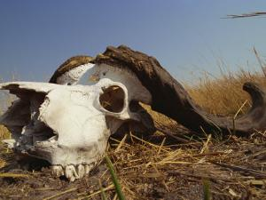 Skull of Cape Buffalo, Kruger National Park, South Africa, Africa by Paul Allen