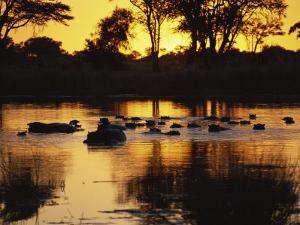 Tranquil Scene of a Group of Hippopotamus in Water at Sunset, Okavango Delta, Botswana by Paul Allen