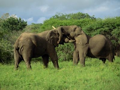 Two African Elephants Greeting, Kruger National Park, South Africa, Africa by Paul Allen