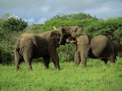 Two African Elephants Greeting, Kruger National Park, South Africa, Africa