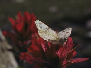 A Pieris Butterfly Perches on an Indian Paintbrush Flower by Paul Chesley