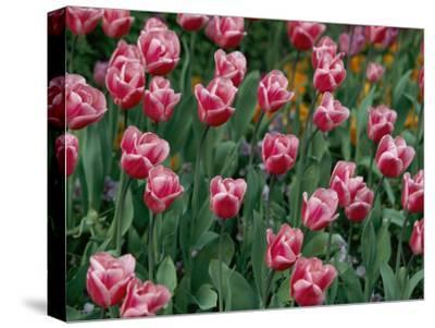 Pretty Pink Tulips with White Edges Fill a Flower Bed