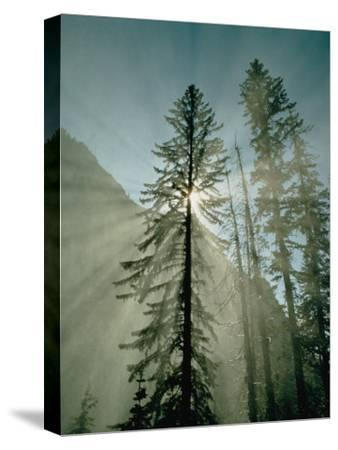 Rays of Sunlight Beam Through the Mist and Boughs of Towering Evergreen Trees
