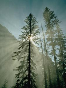 Rays of Sunlight Beam Through the Mist and Boughs of Towering Evergreen Trees by Paul Chesley