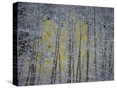 Snow-Covered Branches of a Stand of Aspen Trees Make a Lacy, Web-Like Pattern