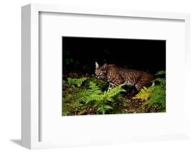 A Bobcat, Lynx Rufus, Walks Among Ferns