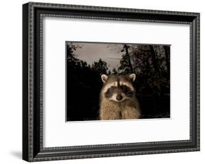 A Common Raccoon, Procyon Lotor, in a Forest by Paul Colangelo