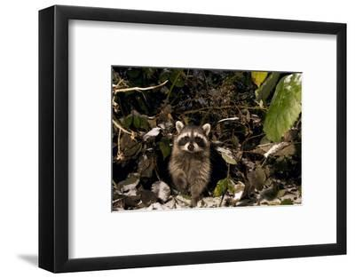 A Common Raccoon, Procyon Lotor, in a Forest