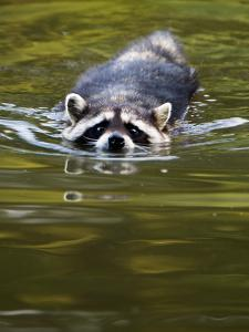A Common Raccoon, Procyon Lotor, Swims in a River by Paul Colangelo