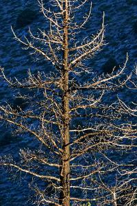 A Dead Tree Burned from a Fire in Inyo National Forest by Paul Colangelo