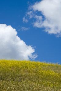 A Field of Mustard Plants and Clouds in a Blue Sky by Paul Colangelo